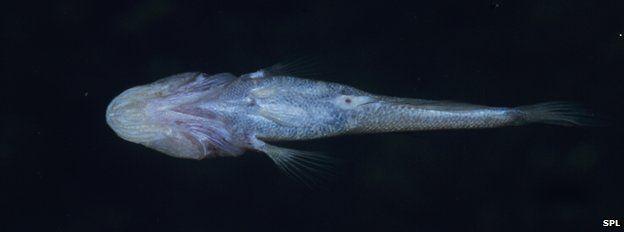 Blind cave fish Typhleotris madagascariensis