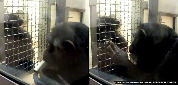 Chimps playing the ultimatum game at Yerkes