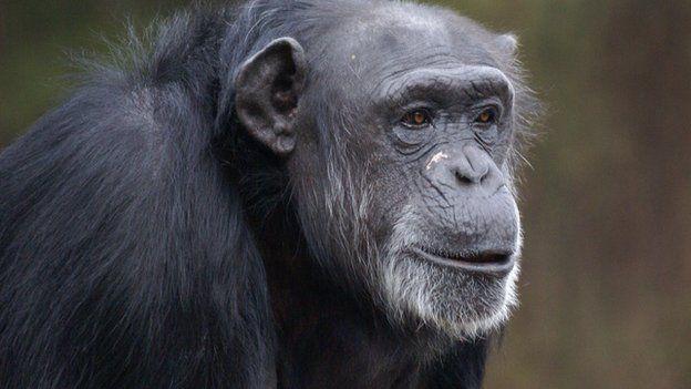 Chimp (c) Yerkes National Primate Research Center