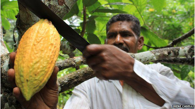 A cocoa farmer cuts down a pod from a cocoa tree