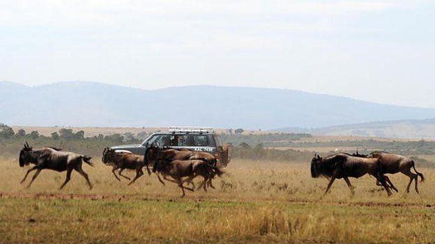 Tourists watch a herd of Wildebeest run through a field during the annual wildebeest migration through the Massai Mara National park in western Kenya - 2008