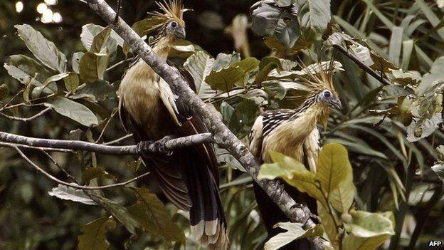 Two hoatzin perch on a tree in the Ecuadorean Yasuni National Park,