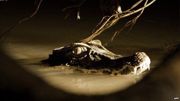A cuvier's dwarf caiman in a lake, in the Ecuadorean Yasuni National Park, - 2012