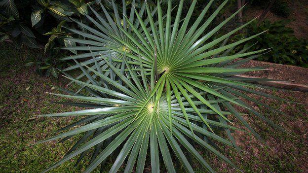 Coccothrinax crinita old man palm