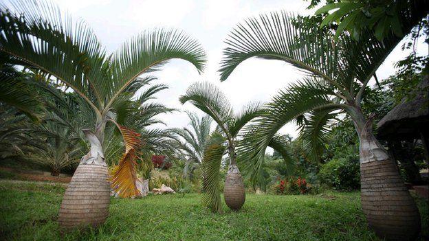 Hyophorbe lagenicaulis or bottle palm