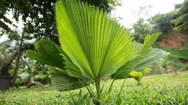 Licuala grandis or ruffled fan palm