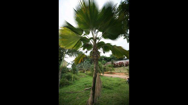 Pritchardia pacifica or Fiji fan palm