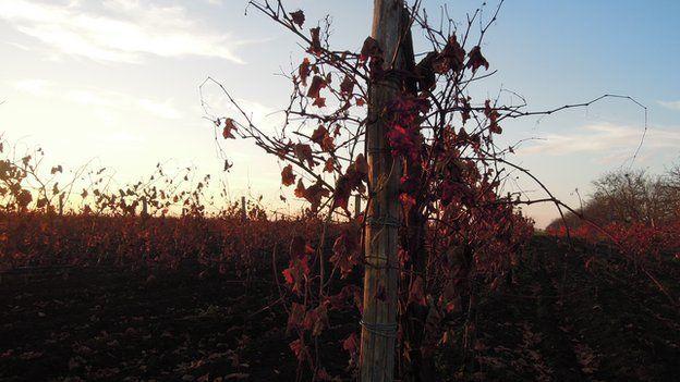Moldovan vineyard
