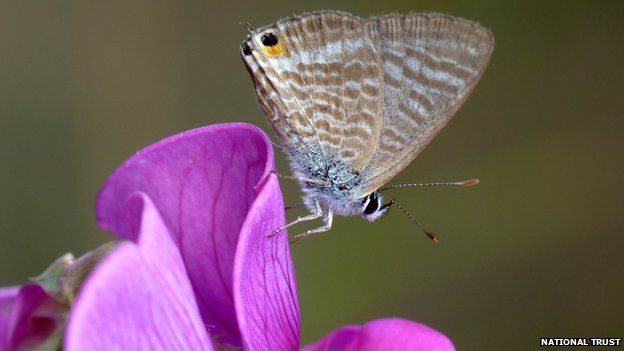Long-tailed blue butterfly