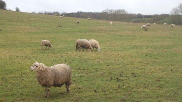 Willowbrook sheep