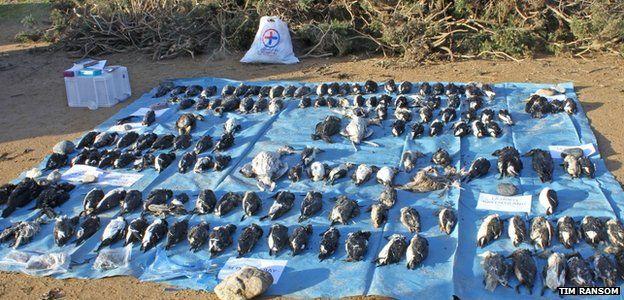 Dead seabirds at Ouannais