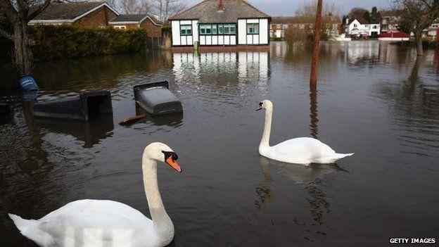 Swans swim across gardens in Chertsey, Surrey
