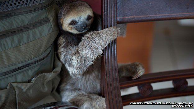 sloth behind a chair
