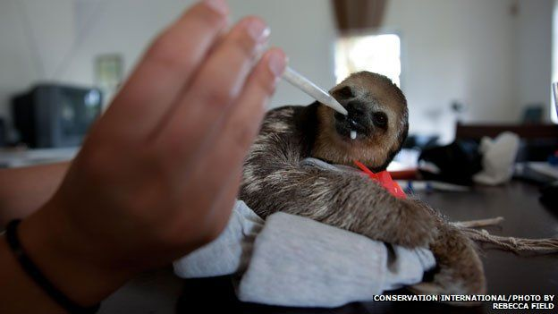 Baby sloths were fed goat's milk with droppers
