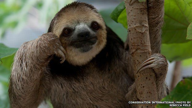 A pale-throated, three-toed sloth