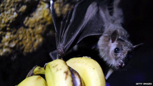 A fruit bat is pictured in 2010 at the Amneville zoo in France.