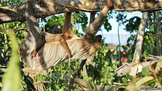 Sloth and baby in tree