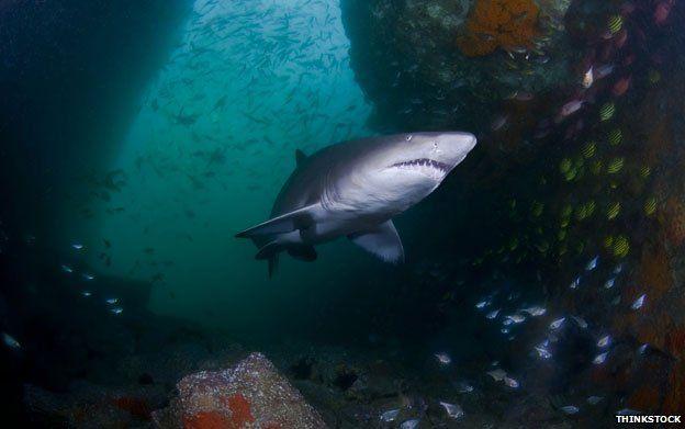 A grey nurse shark