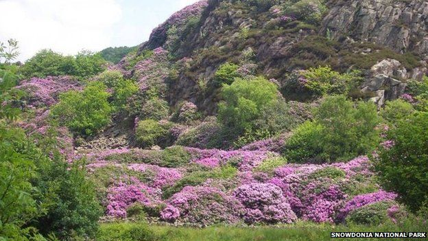 10m to rid Snowdonia National Park of rhododendrons - BBC News