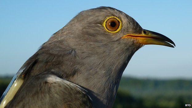 Chris the cuckoo