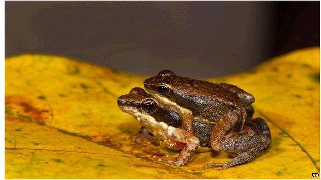 Dancing frog couple