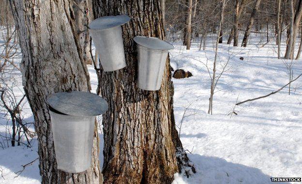 Buckets hanging on tree trunks