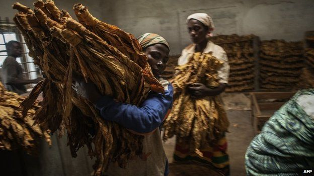 Malawian workers prepare tobacco leaves to be packed and stored ahead of an auction at a tobacco farm on 20 May 2014 in Zomba Municipality, Malawi. Tobacco production in Malawi is one of the nation's largest sources of income.