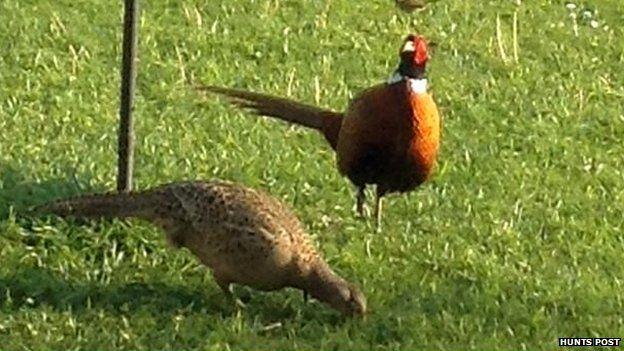 Pheasants at Wood Farm