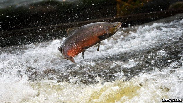 Salmon leaping in river