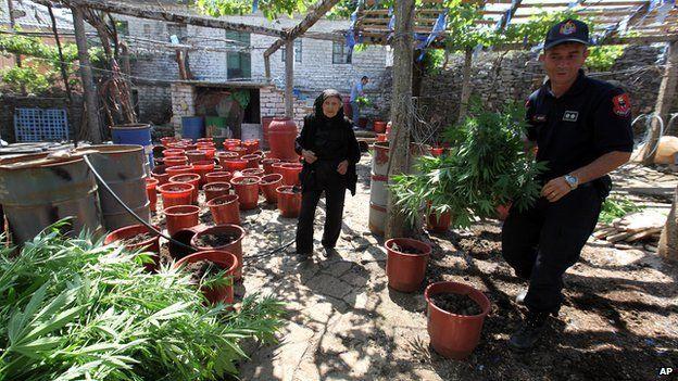 Albanian police officers display seized marijuana in the lawless village of Lazarat on 20 June 2014