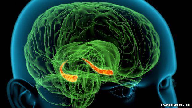 human hippocampus