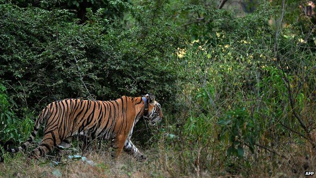 A tiger, seen wearing a collar, is spotted during a jungle-safari at the Ranthambore National Park, around 200kms from Jaipur, India (October 2010)