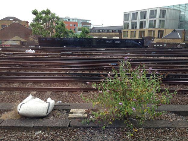 Buddleia on the railtrack