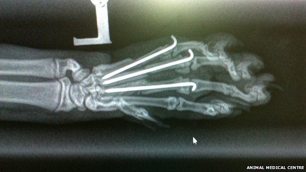 X ray of Barny's paw