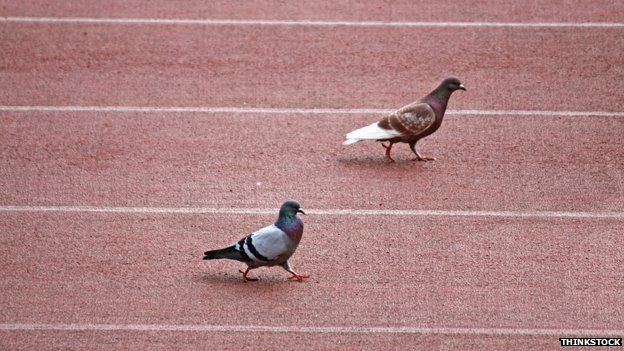 Pigeons on racetrack