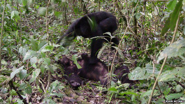 chimpanzees fighting