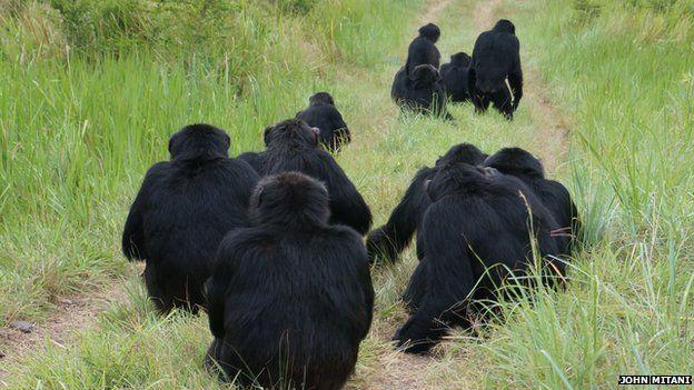 chimpanzees listening