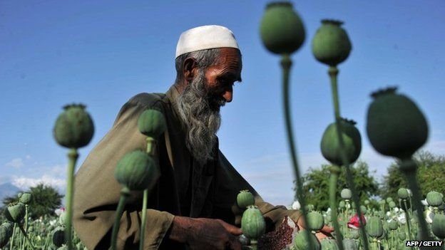 Afghan farmer collects raw opium in the Khogyani district of Nangarhar province, Afghanistan on 29 April 2013.