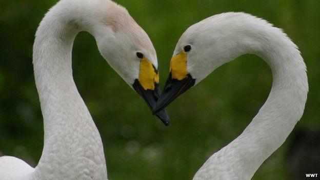 Berwick's swans