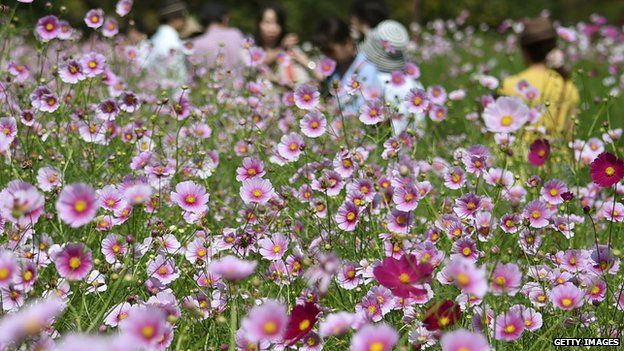 People visit a field full of cosmos flowers at Showa Kinen Park in Tokyo on 23 September, 2014