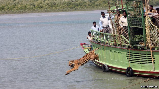 2008, Indian forest workers watch a rescued tiger jump into the river Sundarikati on being released from a cage at Sundarbans