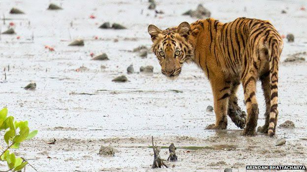 A hungry-looking tiger cub crosses into the mangroves in the Sundarbans in August 2014