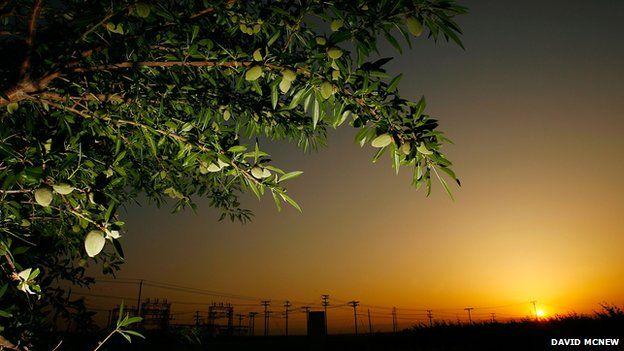The humble almond tree at sunrise