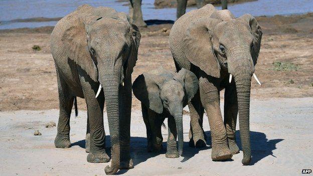 Elephants flank an elephant calf close to the Ewaso Nyiro river in Samburu game reserve, Kenya, on 8 May 2013