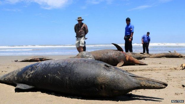 Dolphin carcass in Peru on 6 April 2012