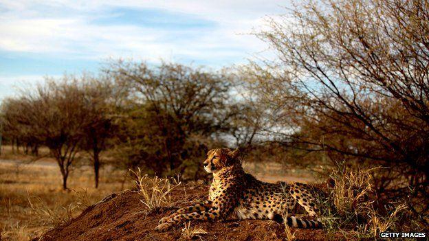 A cheetah lies at The Cheetah Conservation Fund (CCF) center in Otjiwarongo, Namibia