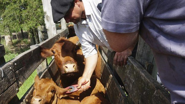 Calves are tagged in Uruguay