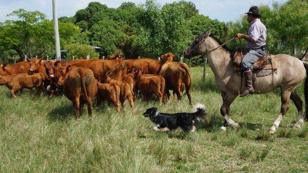 A farm worker in Uruguay herds cattle