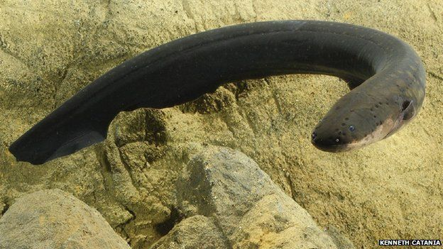 Electric eel (c) Kenneth Catania