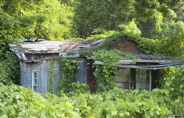 Kudzu grows over a house